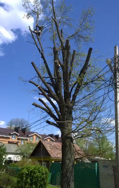 Обрезка деревьев — после