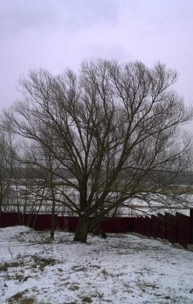 Обрезка деревьев — до